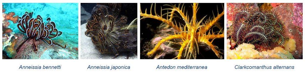 tipos de crinoideas lirios de mar en la actualidad