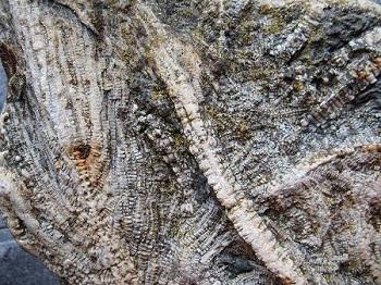 crinoideo fosilizado lirio de mar