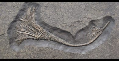 fosil crinoideo