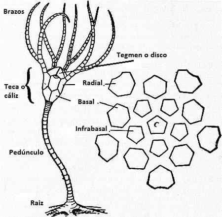 morfologia partes crinoideos lirios de mar